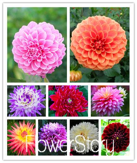 Dahlia Flower Bulbs Flower Dahlia Bulbs Seeds