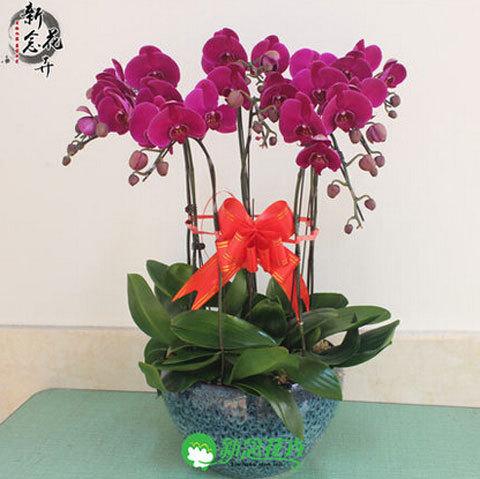 phalaenopsis orchid plant free phalaenopsis seeds Indoor planting flowers 50seeds