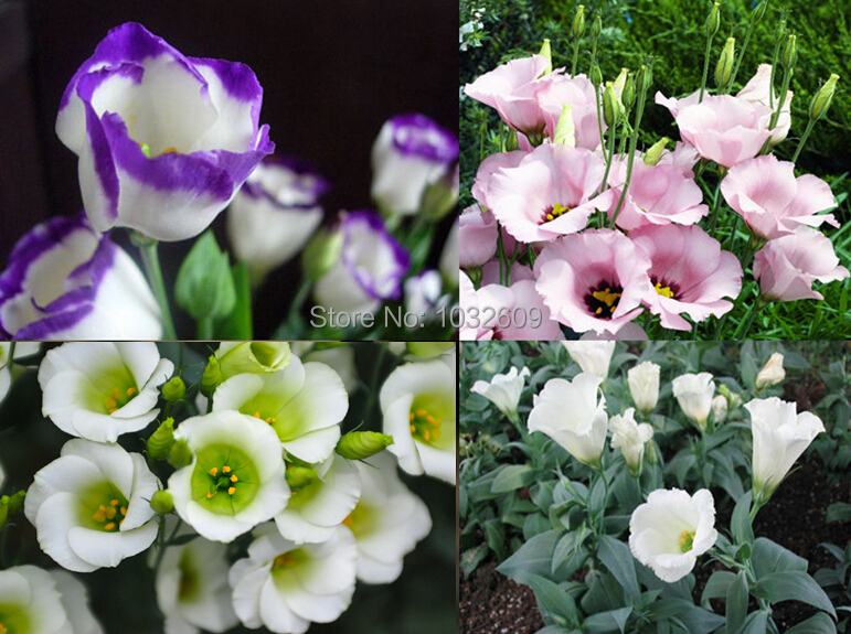 Eustoma grandiflorum bonsai seeds 50pcs/pack Lisianthus flower seeds perennial ornamental plant sementes de flores(China (Mainland))