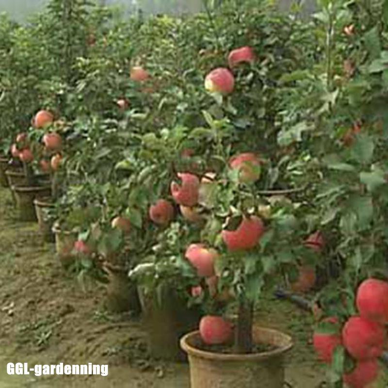 Как выращивать яблони в домашних условиях