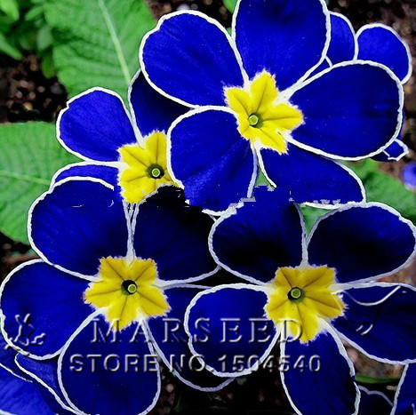 100 pcs Bleu Graines D'onagre. Primula Malacoides Fleurs Graines. Chine Rare Fleurs.(China (Mainland))