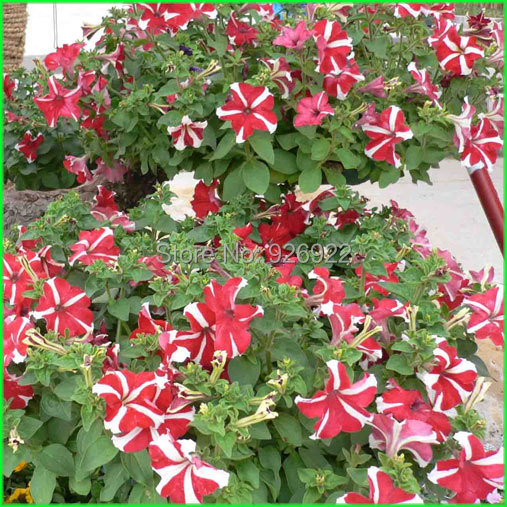 Playmates petunia seeds, hit feather asagao, large exotic flowers, bright colors, about 100 particles(China (Mainland))