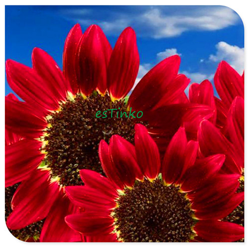15pcs/bag Helianthus Red Sunflower Seed, Red Sun Fortune Bloom, Garden Heirloom Seeds, Flower Seeds, Bonsai Plants Free Shipping(China (Mainland))