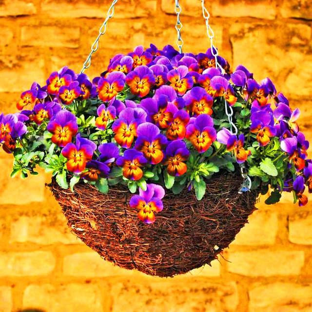 Acquista all 39 ingrosso online piante di lavanda per la for Vendita semi fiori