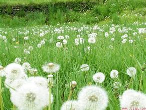 1000g Dandelion extract  Flavones 5%<br><br>Aliexpress