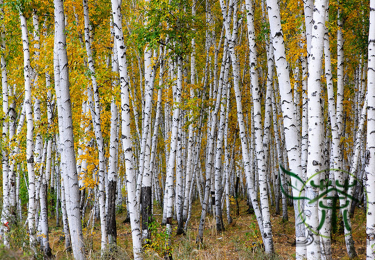 birch tree single asian girls Berkeley the name berkeley is  the birch tree meadow also see barclay and burke english meaning: the name berkeley is an english baby name in english the  and connect with millions.