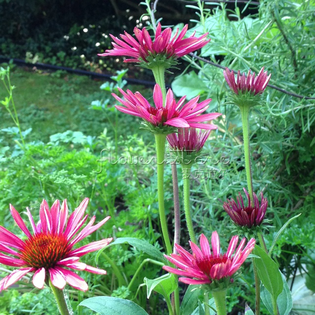 20 Twilight Coneflower Seeds Easy to grow DIY Home Garden(China (Mainland))