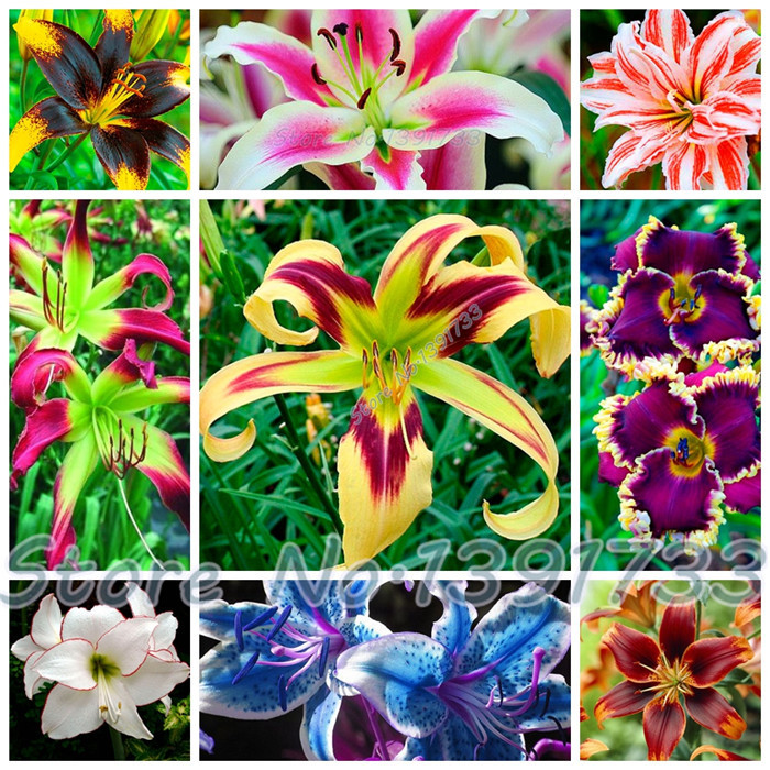 100 pcs lily Plants indoor bonsai calla lily seeds beautiful garden lily flower seeds free shipping(China (Mainland))