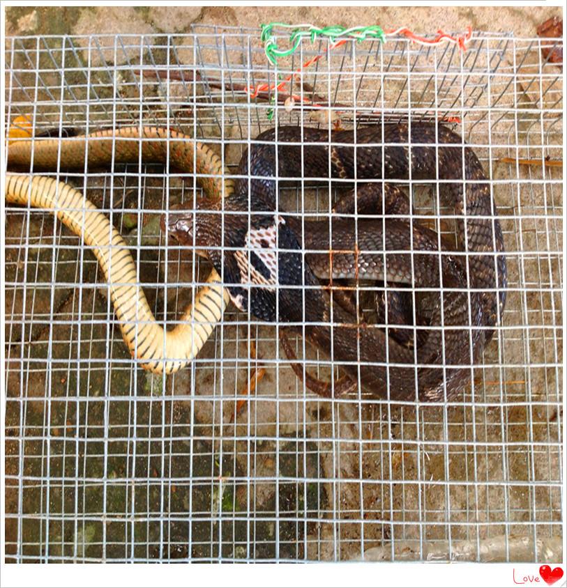 Achetez en gros serpent attraper en ligne des grossistes serpent attraper chinois aliexpress - Piege a serpent ...