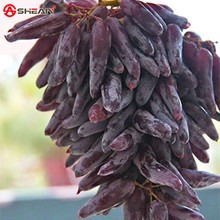 100 Seeds / Pack Very Rare Finger Grape Seeds Advanced Fruit Seed Natural Growth Grape Delicious Fruit Plants(China (Mainland))