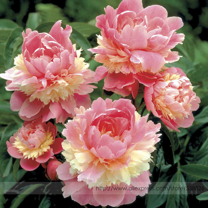 Rare Heirloom Sorbet Robust Colorful Double Blooms Peony Tree Seeds, Professional Pack, 5 Seeds / Pack, Easy Care Plants #NF797(China (Mainland))