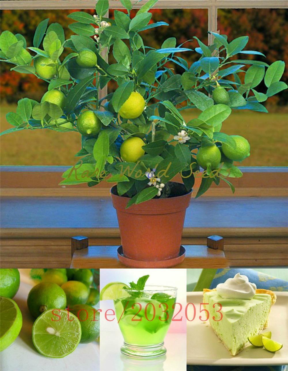 20pcs/bag kaffir lime seeds, lime seeds, (Citrus aurantifolia) ,organic fruit seeds, BONSAI fruit lemon tree for home garden(China (Mainland))