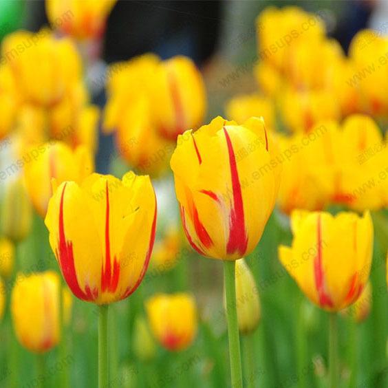 100pcs/bag Bonsai Tulip Seeds Rare Flame Yellow Tulip Flower Seeds Home&Garden Potted Plants(China (Mainland))