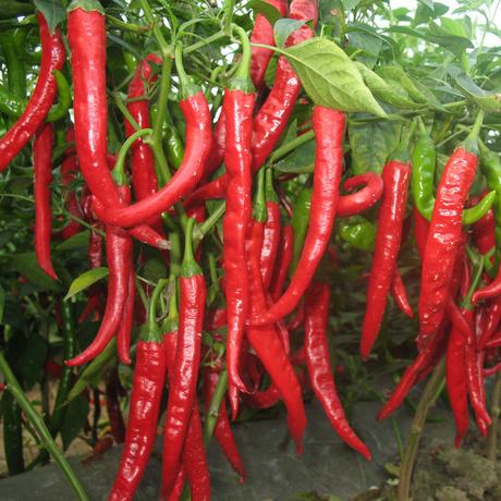 Vegetable fruit seeds Red chilli seed Taste good paprika peppers Bonsai plants Seeds home & garden 50 seeds/bag - Flower Garden store