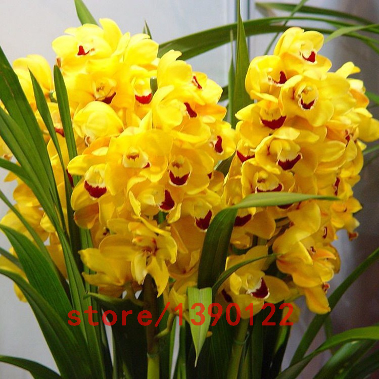 100pcs/bag cymbidium orchid,yellow cymbidium,cymbidium orchid plant,bonsai flower seeds,Natural growth,plant for home garden(China (Mainland))