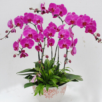 10pcs/lot Bonsai Balcony Flower Butterfly Orchid Moth Orchid Seeds pink DIY Home Garden Free Shipping(China (Mainland))