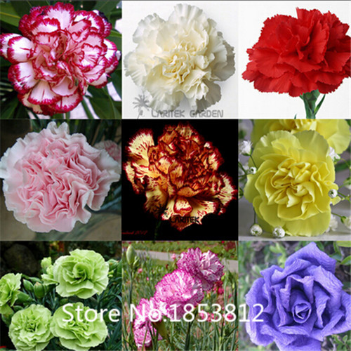Sale!2015 Asian Rare Carnations Seeds Flowers Seeds 200pcs/pack 20 Species Bonsai Seeds Free Shipping(China (Mainland))