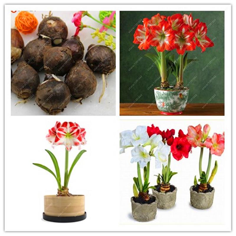 Compra amaryllis plant online al por mayor de china for Azucena plantas jardin