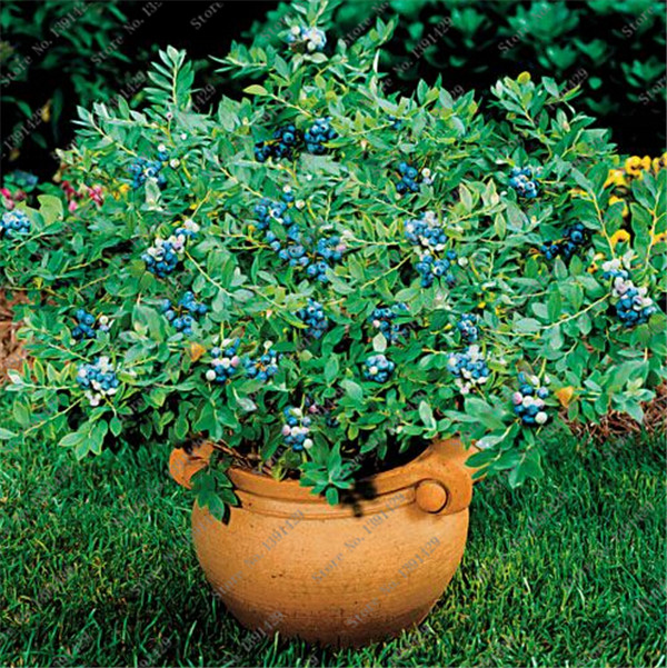 50pcs/ bag American Blue Dwarf Blueberry seeds edible potted fruit seeds Bonsai tree for garden and balcony Free Shipping(China (Mainland))