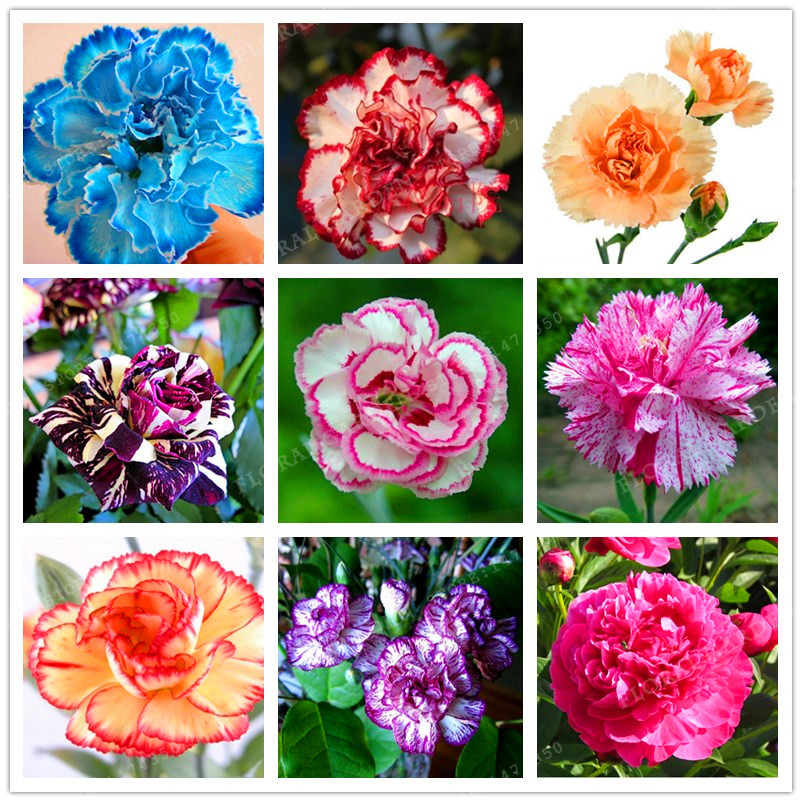 new arrival16 colors carnation seeds balcony potted courtyard garden plants dianthus caryophyllus flower seeds - Carnation Flower Colors