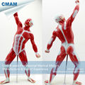 CMAM MUSCLE05 Mini Size Male Muscles and Skleton Anatomy Model