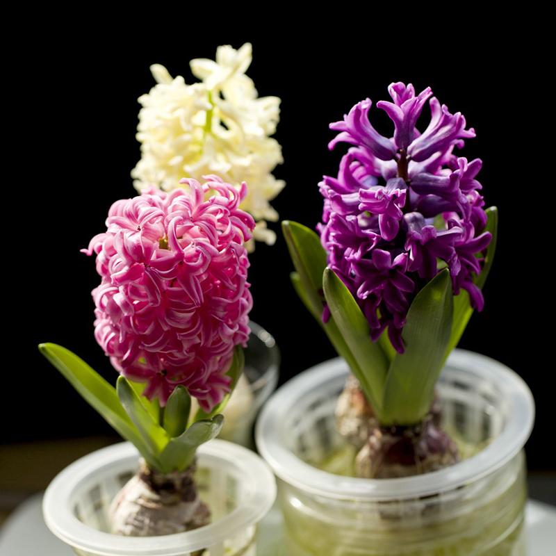Compra jacinto de agua de flores online al por mayor de for Jacinto planta interior