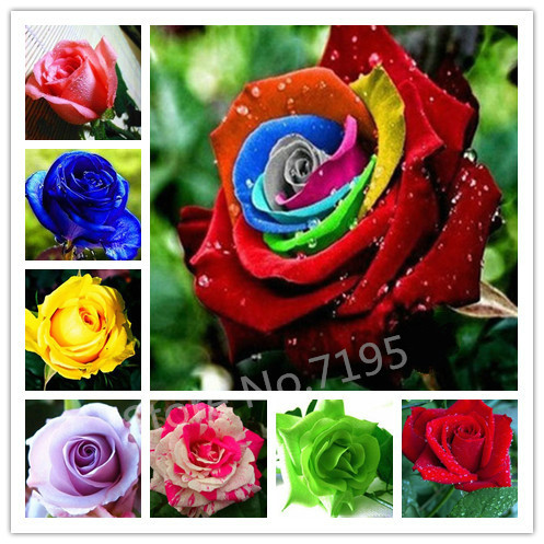 300 Pcs 10 Colors Rainbow Rose Seeds Top Quality Balcony Plants Exotic Beautiful Flower Seeds Bonsai Plant Home Garden(China (Mainland))
