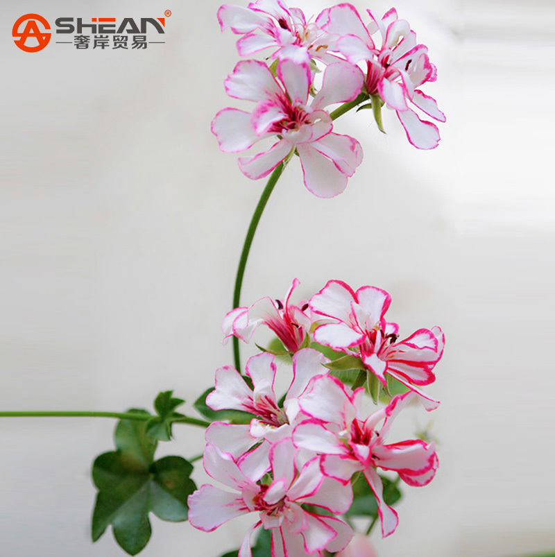 Гаджет  A Package 20 Pieces White & Red Edge Geranium Seeds, Perennial Flower Seeds Pelargonium Peltatum Flowers for Rooms None Дом и Сад