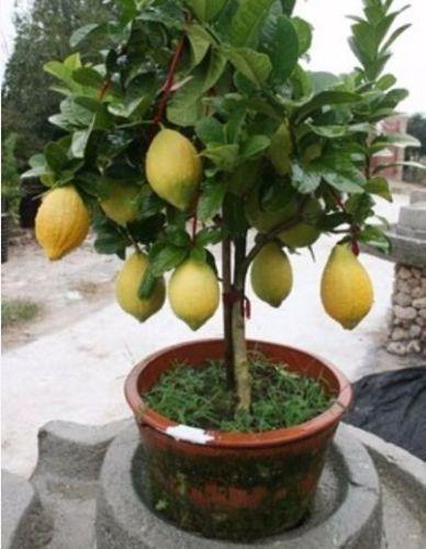 kobold o anao de jardim : kobold o anao de jardim:de frutas limão orgânico planta jardim planta E01 em Bonsia de