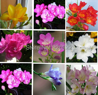 Freesia, Freesia seeds, not the Freesia bulbs - 100 seeds/bag(China (Mainland))