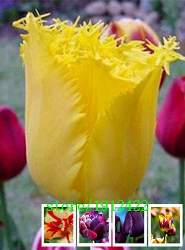 500pcs/bag Bonsai Tulip Seeds Rare White & Green Tulip Flower Seeds Home Garden Potted Plants Seeds(China (Mainland))