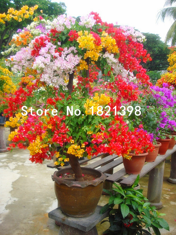 Free Shipping 100pcs Mix-color Bougainvillea Spectabilis Willd Seeds bonsai flower plant seeds flowers flower pot plant(China (Mainland))