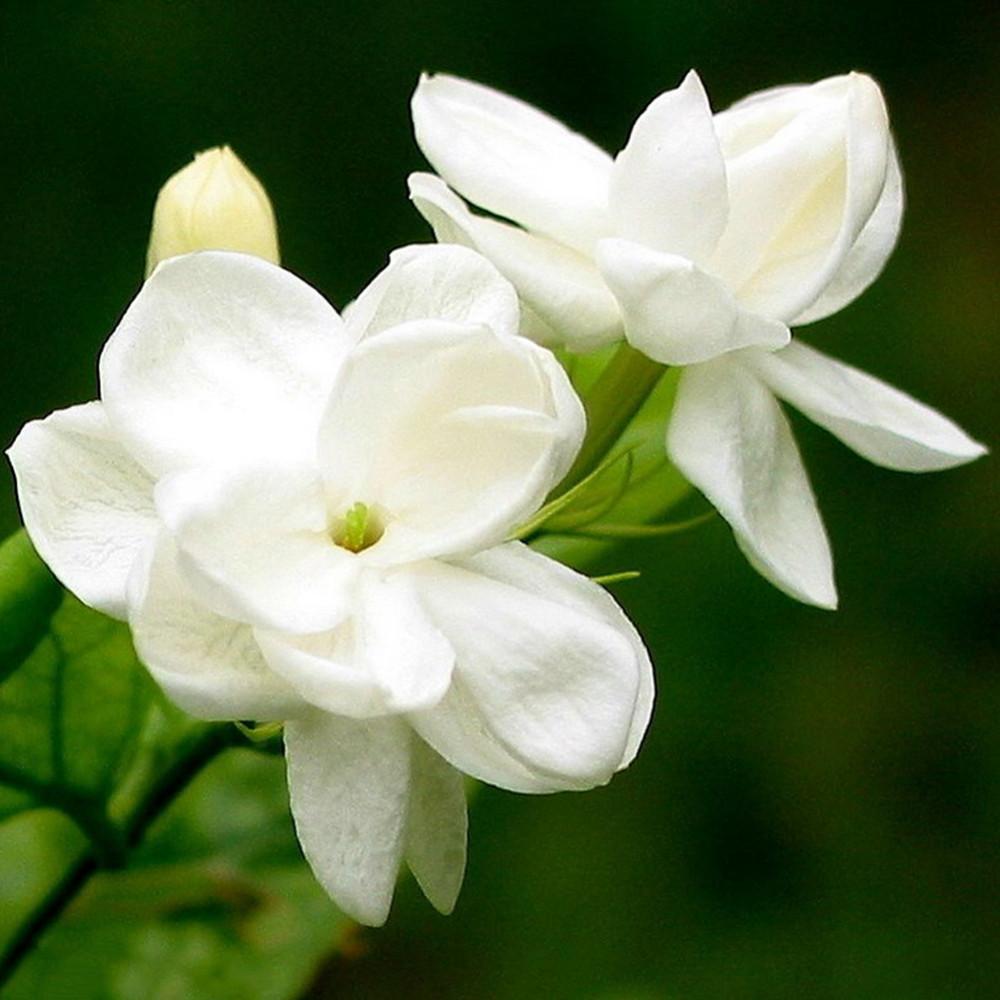 Purchase 2016 White Jasmine Seeds Jasmine Flower Seeds Fragrant