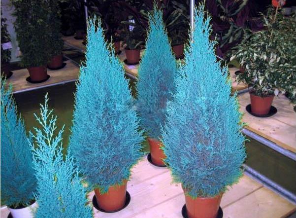 New Rare Blue Cypress Seeds Bonsai Tree Seeds Rare Incense Auspicious Noble Conifer Plant Free Shipping 50pcs(China (Mainland))