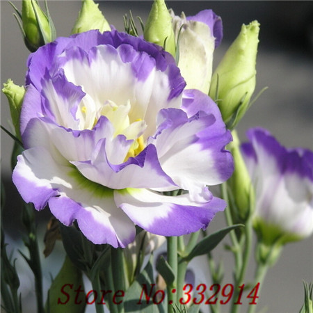 Hot Sale 2015 20 Colors Rare eustoma seeds Flower Seeds 200pc pack Bonsai Seeds for Home