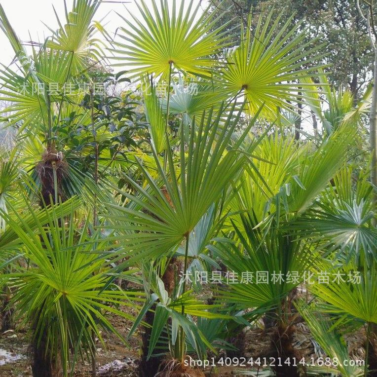 Fan Like Palm Palm Likes The Warm And