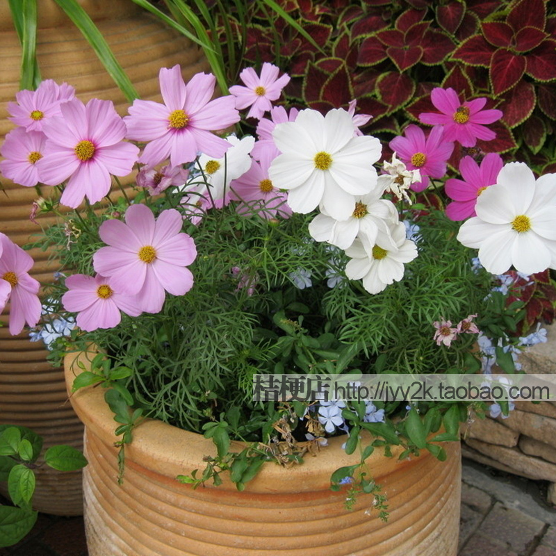 Short Persian chrysanthemum flower seeds1pcs/lot(50seeds) the language of young girl DIY home and garden Free shipping(China (Mainland))