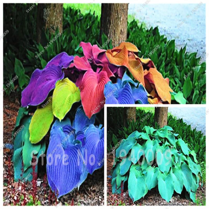 100pcs/bag Coloful Hosta Plants Perennials Lily Flower Full Shade Hosta Flower, Grass Seeds,Ornamental Plants for Home Garden(China (Mainland))