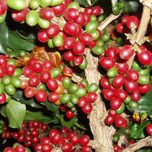 JinQing Featured Product Top Yunnan Baoshan Iron Pickup Blue Mountain Siblings Arabica Raw Green Coffee Beans