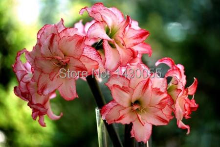 Bulbos de flores mixcolor 4 bulbos de azucena semillas for Azucena plantas jardin