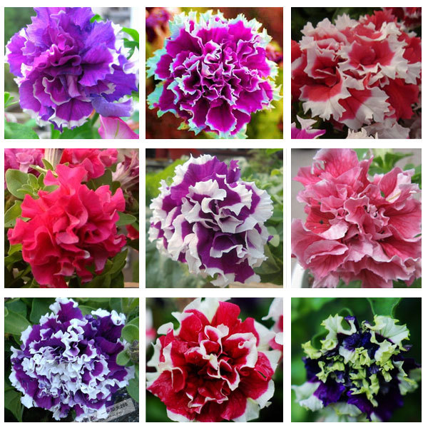 Garden Petunia petals flower seeds for garden petunia semillas de petunias 100 seeds bag