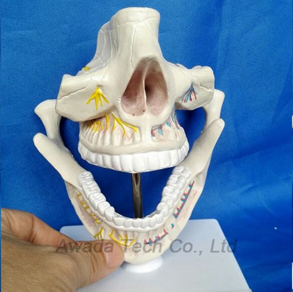 Medical Dental anatomical model teaching model Oral skeleton model ,Tooth Dentist for Medical Science Teaching