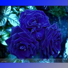 Buy Rare Heirloom 3-Flower Blue Damask Rose Bush Flower Seeds, Professional Pack, 50 Seeds / Pack, Fragrant New Year Flower #NF636 for $1.48 in AliExpress store