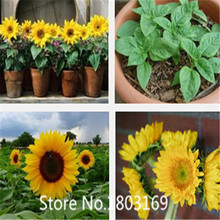flower seeds, sunflower seeds oil, a bag free shipping,about 100 particles 6 Rare Mix Colors(China (Mainland))