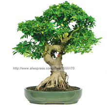50pcs/bag Banyan Tree Seeds Ficus Ginseng Seeds Bonsai Seeds Green Tree Seeds Diy Home Garden(China (Mainland))