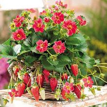 100 Toscana Strawberry Seeds — Rare, Fragrant, Sweet & Juicy