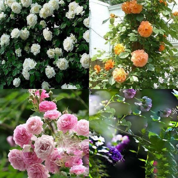 New Beautiful Romantic 6 Variety Color Climbing Rose Seeds Rosa Perennial Fragrant Flower Home Decor(China (Mainland))