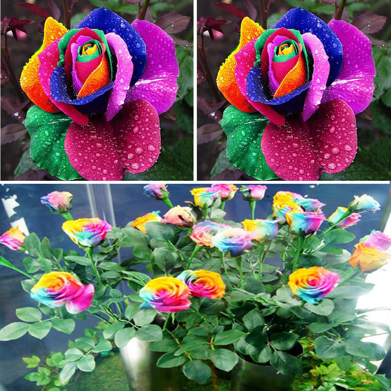 Beautiful Romantic Indoor Plants Flowers 500Pcs Rainbow Rose Seeds Multi Colored Perennial Fragrant Flower Home Decoration Zaden(China (Mainland))