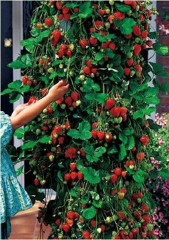 free shipping 30pcs/lot  New arrival climbing strawberry seeds for DIY home garden