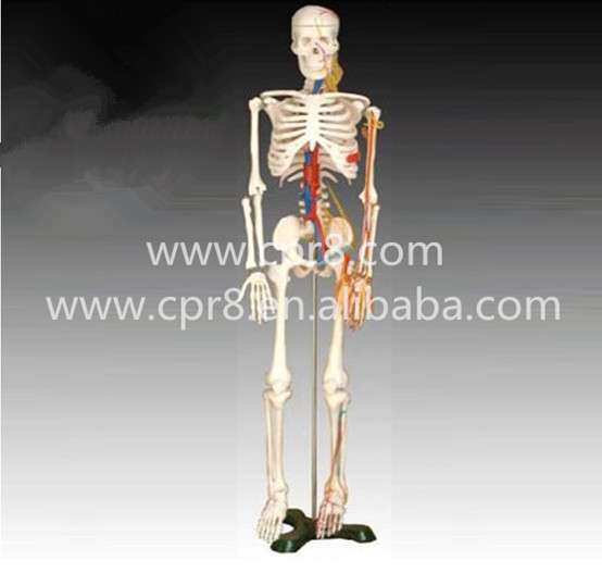 BIX-A1005 Human skeleton model with heart and vessels model (85CM)<br><br>Aliexpress